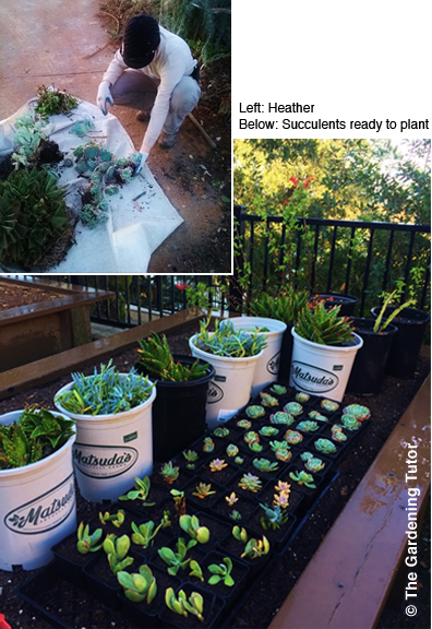 Succulents-ready-to-plant