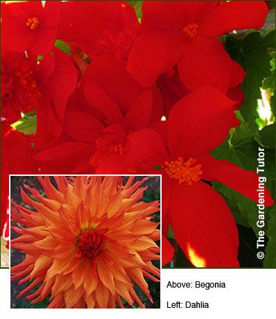 Dahlia-and-Begonia