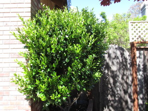 Texas privet photo one