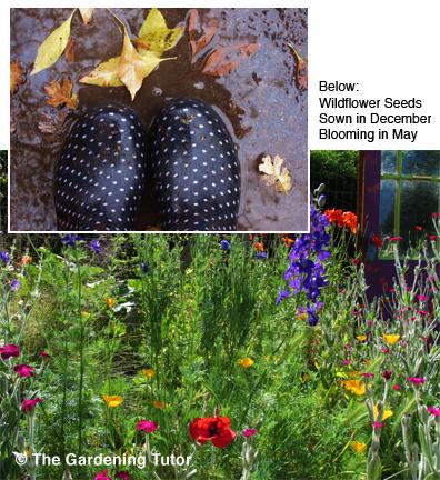 Wildflowers-Sown-in-December-Blooming-in-May